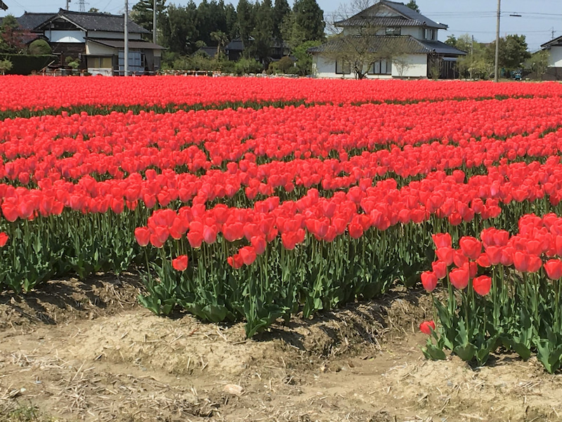 富山県砺波市でチューリップフェア開幕!ゴールデンウィークのおでかけに最適!