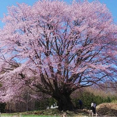 本日の天王桜の記事に添付されている画像