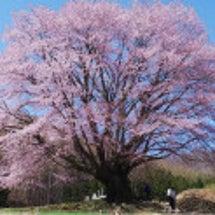 本日の天王桜