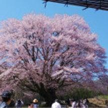 天王桜満開‼️