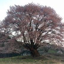 満開の天王桜 〜ライ…