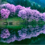 桜 中綱湖 白馬村