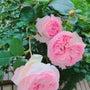 今日の薔薇(╹◡╹)…