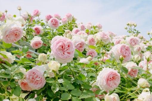 薔薇空中神殿