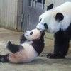 介護旅行:パンダのシャンシャンの画像