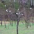 梨の接ぎ木完了