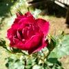 庭のバラ フランシス*デュブリュイ&ロンサールの画像