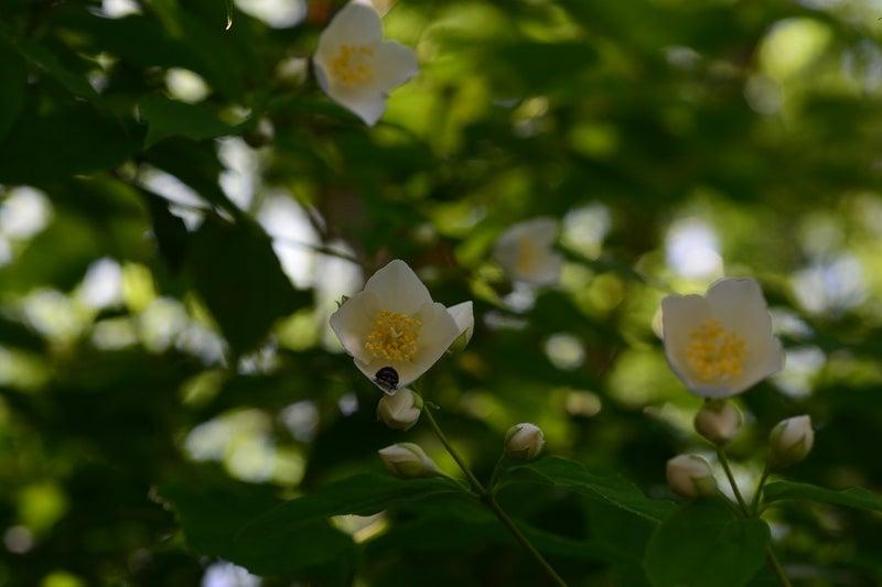 梅花空木 (ばいかうつぎ)