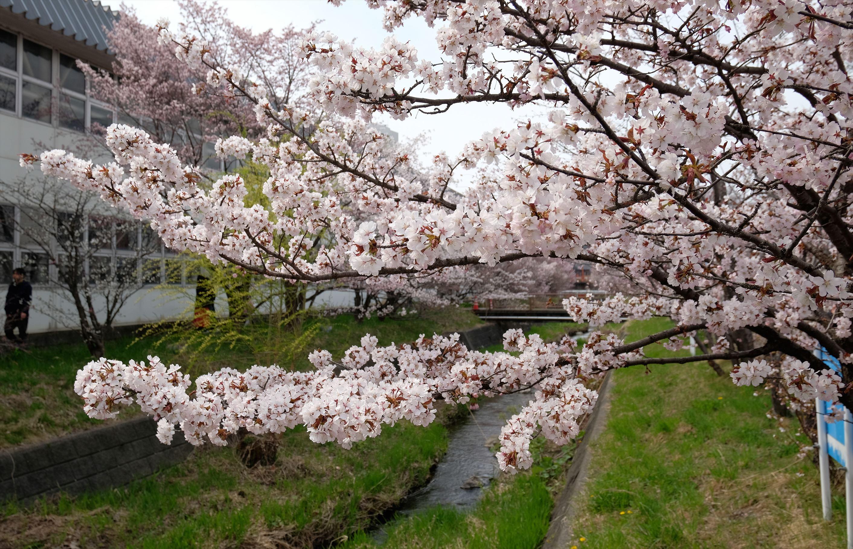 ぶらり散歩写真@sapporo一足先に千島桜
