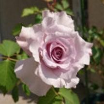 一番最初に咲いた薔薇