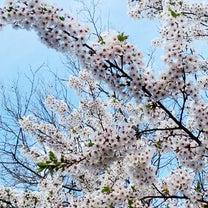 見事に満開!お花見日和の記事に添付されている画像