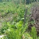 むー農園 山菜の復元力の記事より