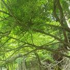 日本を代表する香木「クロモジ」の大木の記事より