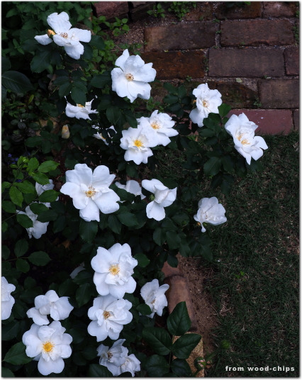 ホワイトノックアウト バラ
