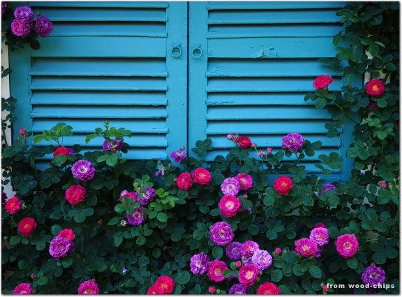 バラ 窓辺