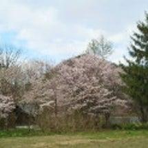 まだまだ 桜 (*^…