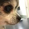 狂犬病のワクチンを打ちに動物病院への画像