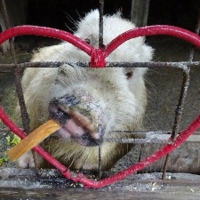 九州 猪巡礼8(宝八幡の白猪)の記事に添付されている画像
