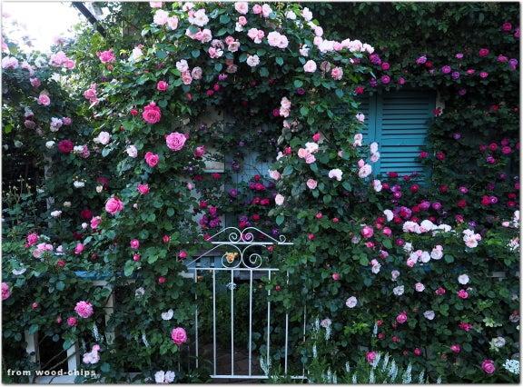 wood-chips rose garden