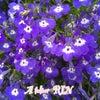 可愛いブルーの小花  ロベリアの画像
