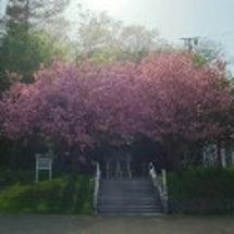まだまだまだ 桜 (…