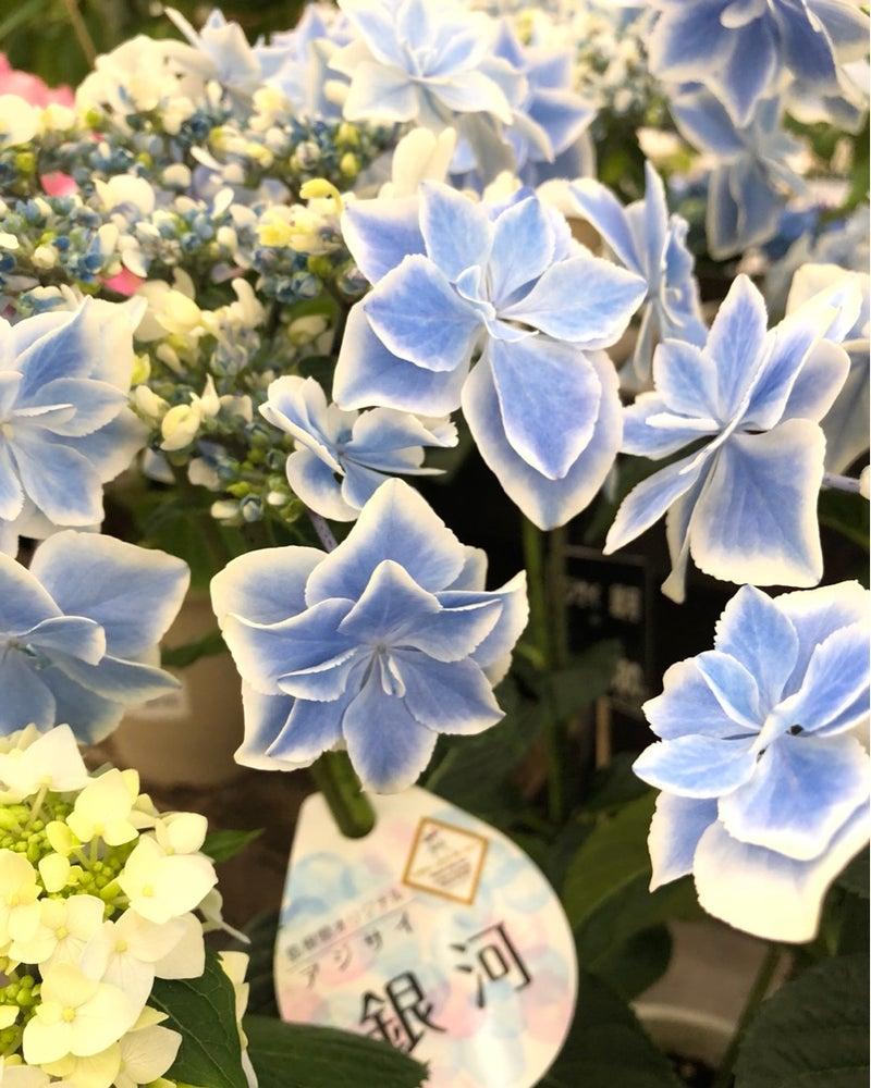イトウ 紫陽花 コンペ