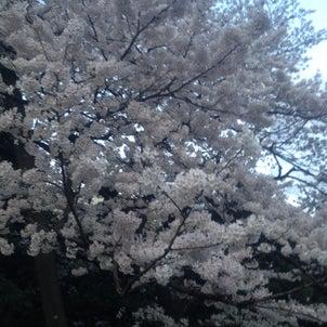 今年は桜の開花が早いの画像