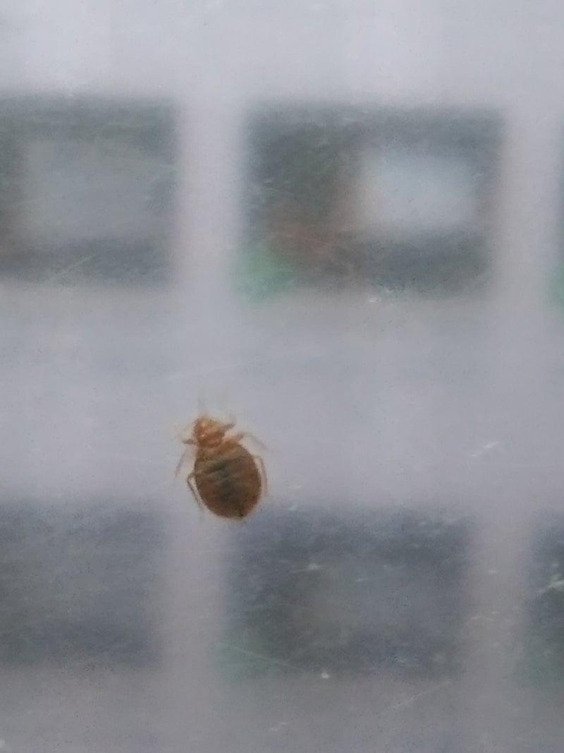 画像 南京虫
