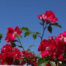 きれいなバラには棘が…