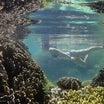 もうすぐ死んでしまう石垣島の美しいサンゴ群生地 【殺さないでください】