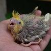 オカメインコ・セキセイインコ・白文鳥入荷しました。の画像