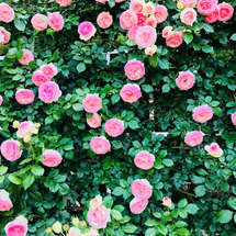 芳醇なかおりの薔薇は…