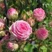 神代植物公園でバラにまみれてきました。