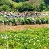 紫陽花畑 at 陽明山の竹子湖の画像