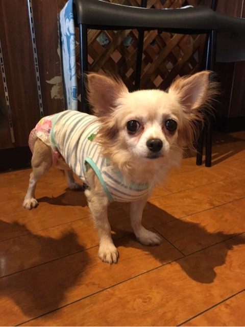 保護犬カフェ鶴橋店 チワワのネネちゃんカフェデビューしました