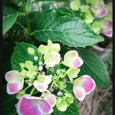 紫陽花の蕾。の記事に添付されている画像