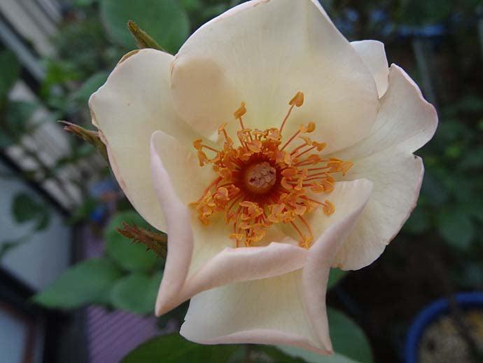 今年のバラの初開花119番目は「...