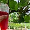 葡萄ジベレリンの画像