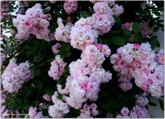 つるバラ ピンク