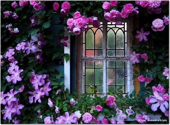 窓辺のバラ 誘引