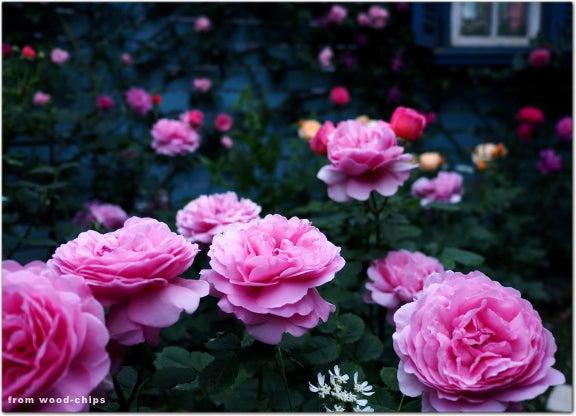 イングリッシュローズ ピンク