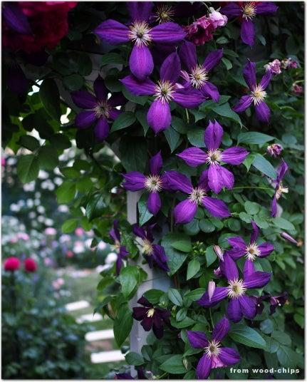 クレマチス 紫