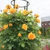 素敵なバラたちですの画像