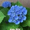 梅雨の季節  紫陽花の画像