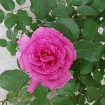 新しく迎えた薔薇が咲きました☆ヴィヴィアン&アムールドゥランジュの記事に添付されている画像
