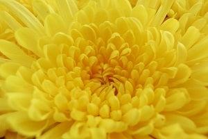 変化を怖れないキクの花