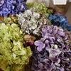 どの紫陽花を使おうかなの画像