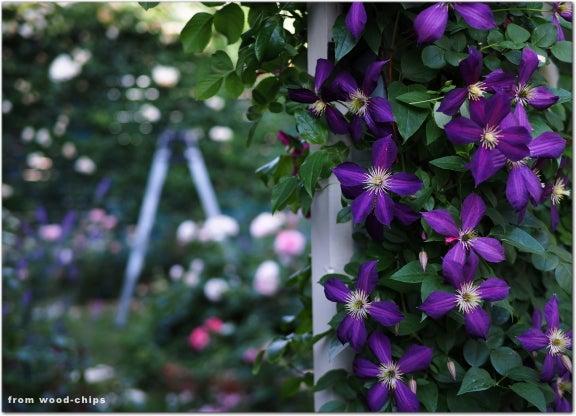バラの庭 クレマチス
