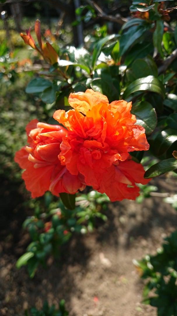 ザクロ(柘榴)・季節の花と花言葉