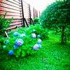紫陽花の花言葉の画像